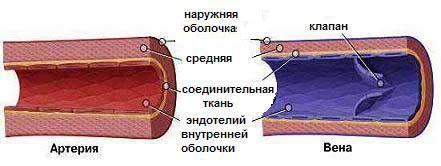 Строение артерии и вены