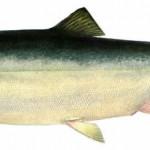 рыба - горбуша
