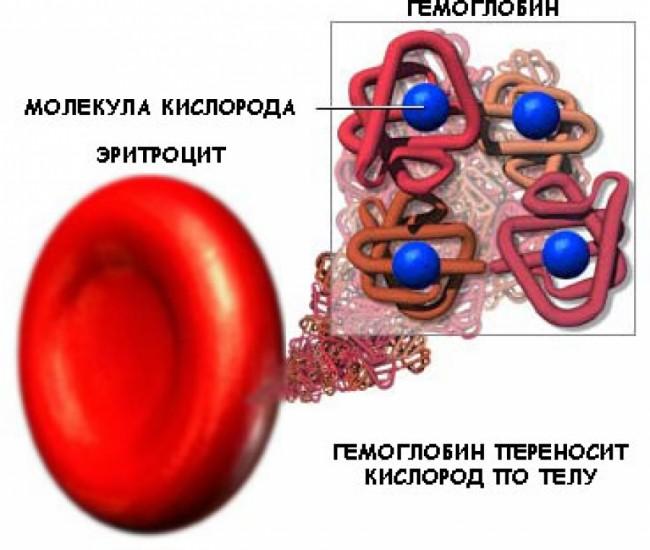 схема - гемоглобин переносит кислород по телу