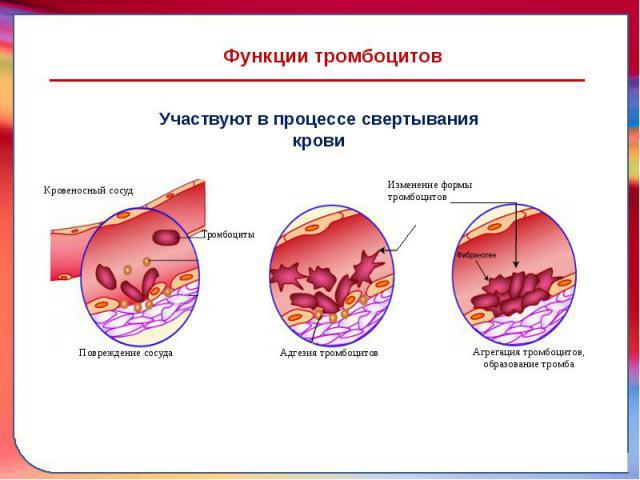 Функциитромбоцитов
