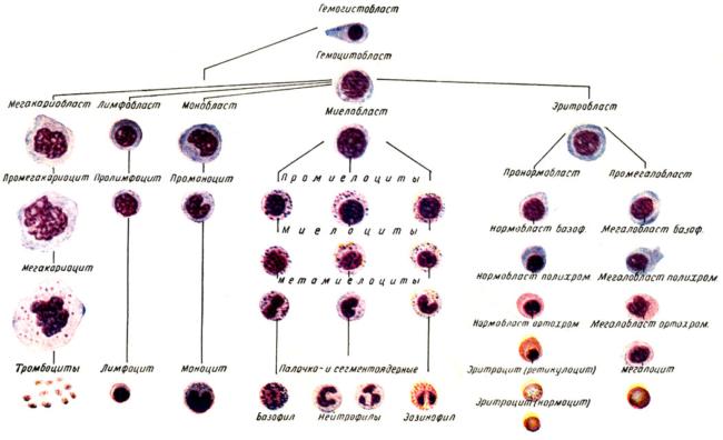 Повышенное содержание лейкоцитов
