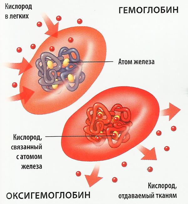 Строение эритроцита и гемоглобина
