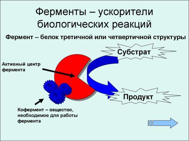 Строение ферментов (схема)