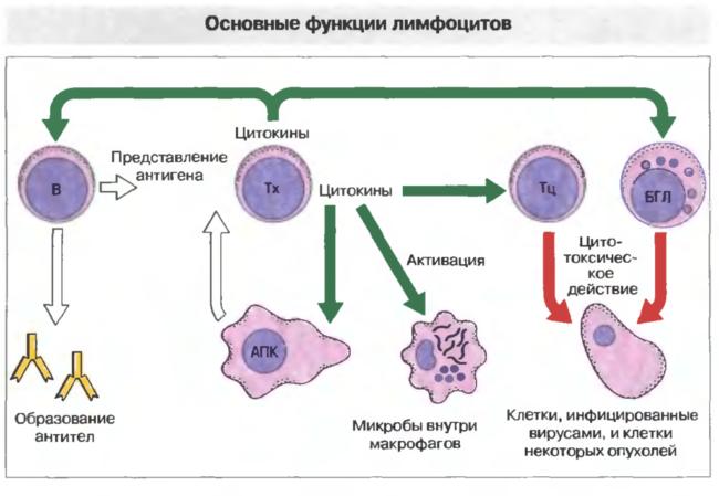 Виды лимфоцитов и их функции