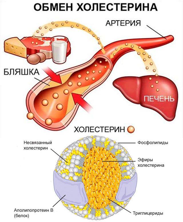 Схема обмена холестерина в организме