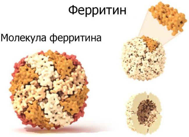 Молекула ферритина схема