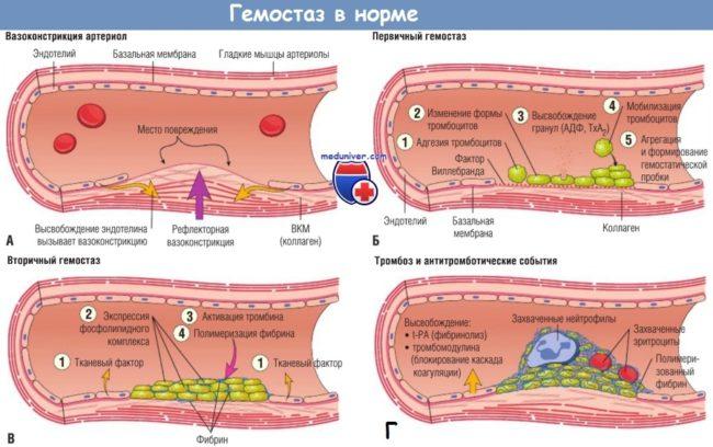 Схема гемостаза в норме