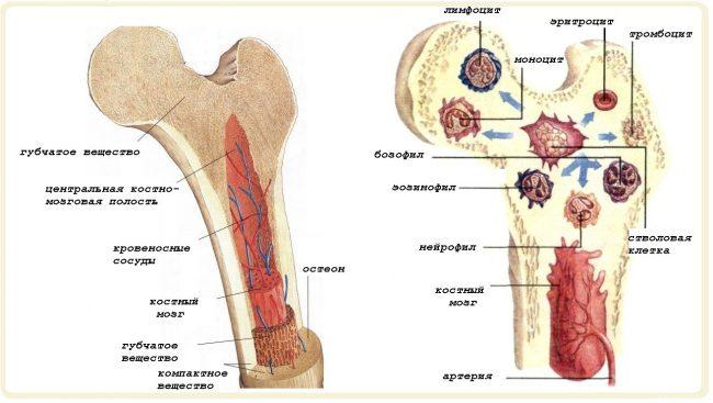 Схема и состав костного мозга человека