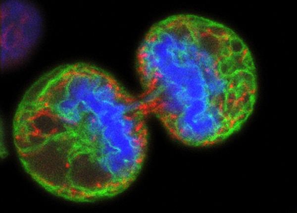 формирование новой клетки